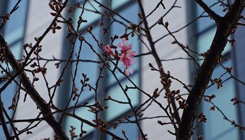 オカメ桜2016